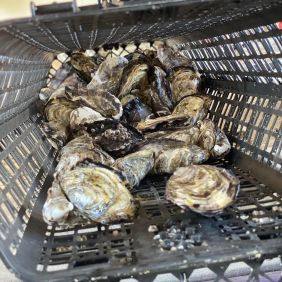 Oysters in a hanging basket